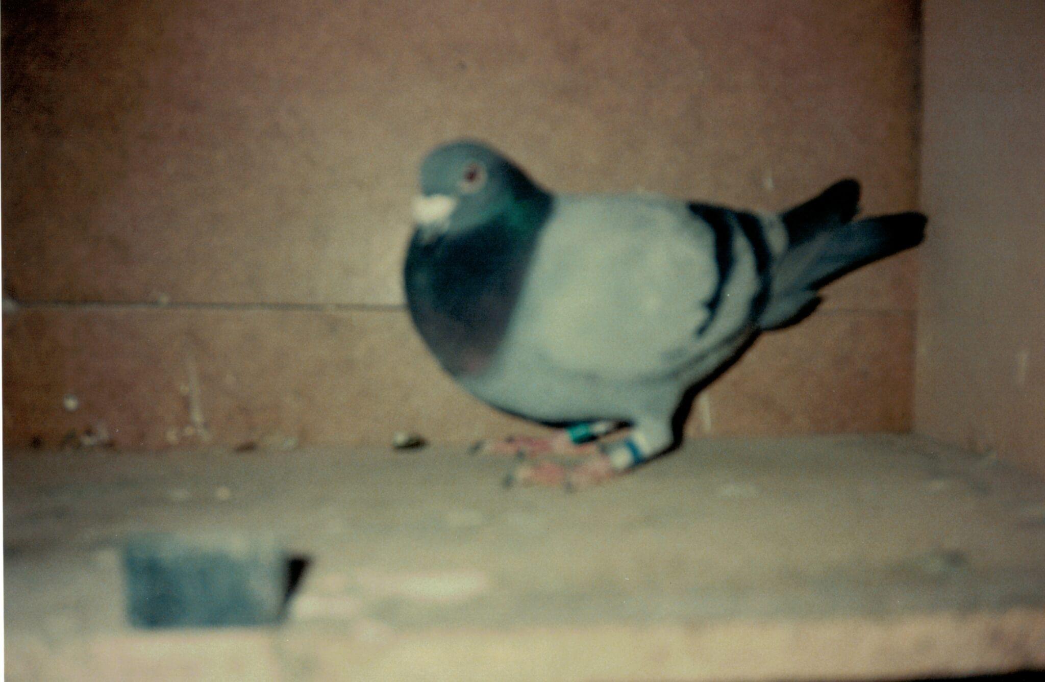 Brøbech Racing Pigeon