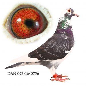 DAN073-16-756 Brøbech Blåtavlet linje. Meget indavlet på 192+573