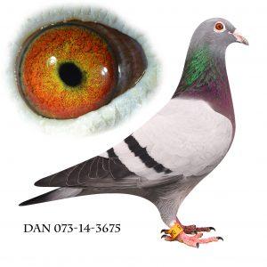 DAN073-14-3675 Datter af 702. Dobbelt barnebarn af 812