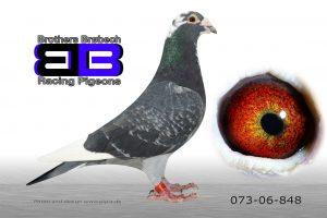 DAN073-06-848 Stamhan. Søn af 362+572