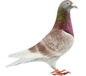 NL08-1858016_pigeon - Kopi