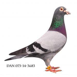 DAN073-14-3683 Brøbech. Ham med lange slagfjer