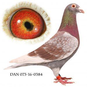 DAN073-16-384 Klak-Janssen. Nr. 3/204 sekt. nr. 8/711 reg. Giessen 622 km. Kun slået af mine egene duer i sektionen.