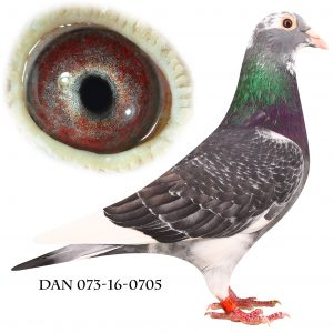"DAN073-16-705 ""Dolle""   132*Dolles forældre på stamtavlen."