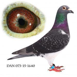 DAN073-15-1640 Brøbech-Hebberecht. Nr. 3/54 klub, nr. 3/191 sekt. Åbenrå 118 km. Kun slået af mine egne duer.