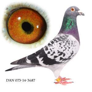DAN073-14-3687 Søn af sektionsvinder Gotha og Antwerpen